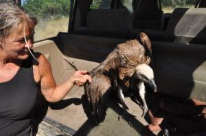 Een jonge gier gered uit het stuwmeer